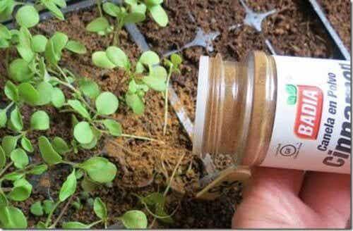 Cannella nelle piante: qual è il risultato?