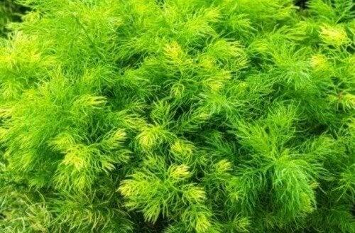 L'Asparagus racemosus è una delle cinque piante per aumentare la libido