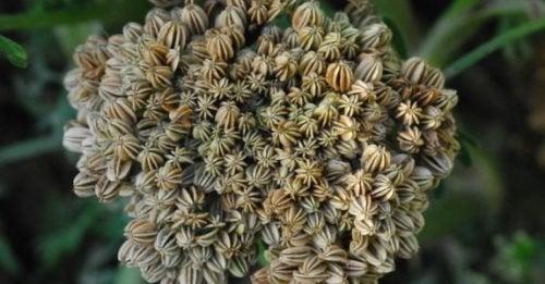 Lo Cnidium Monnieri è un'altra della piante utili ad aumentare la libido