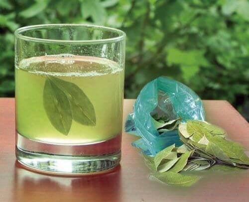Infuso di foglie di avocado