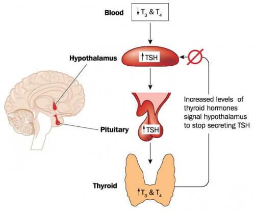 Meccanismo di produzione degli ormoni tiroidei