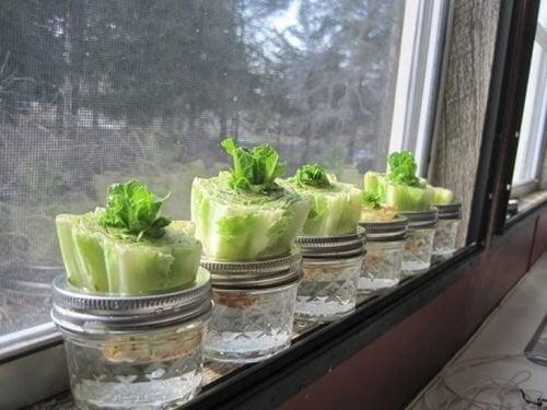 Lattuga tra le verdure da coltivare in casa