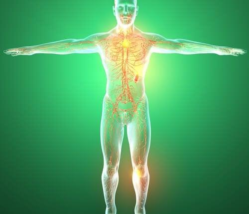 Organi del sistema linfatico