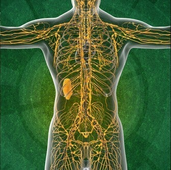 Sistema linfatico: alcune curiosità