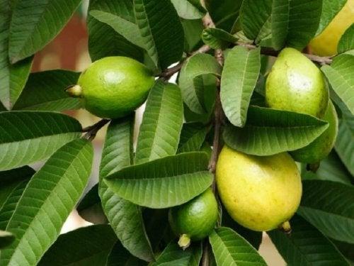 Foglie di guava e frutti