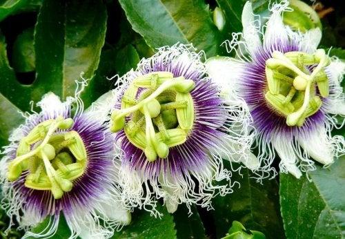 Fiore del frutto della passione