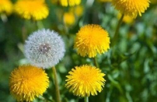 fiori di tarassaco