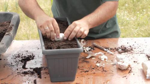 Coltivare aglio in casa: consigli