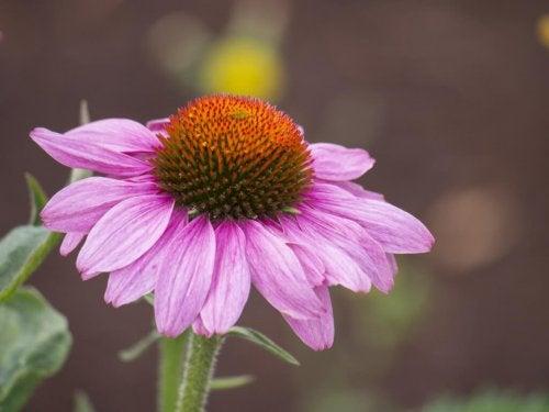 l'echinacea è una pianta medicinale che rafforza il sistema immunitario