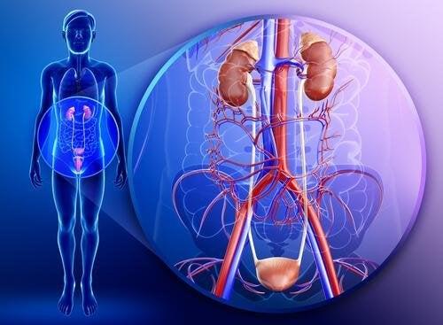 i reni sono il principale sistema di filtraggio del nostro corpo