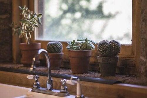 Cactus in vasi