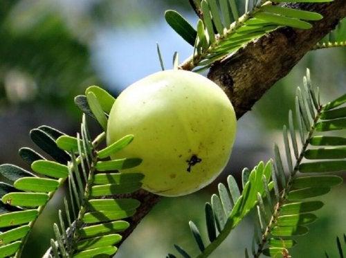 Infuso di uva spina indiana