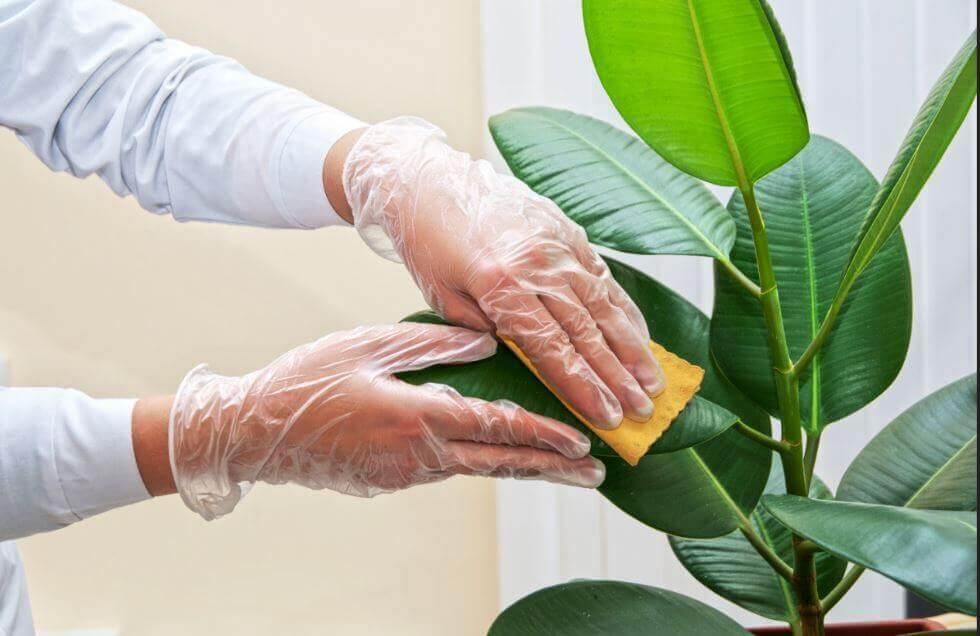 Pulire le foglie delle piante ornamentali