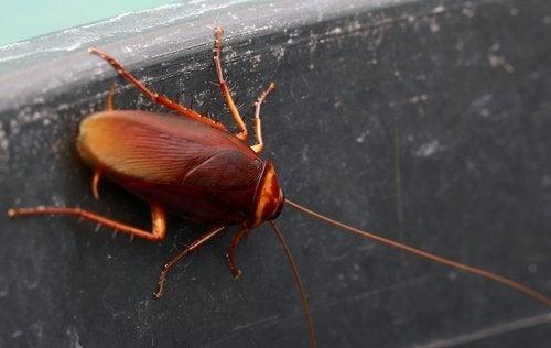 Come scacciare gli scarafaggi senza usare gli insetticidi?