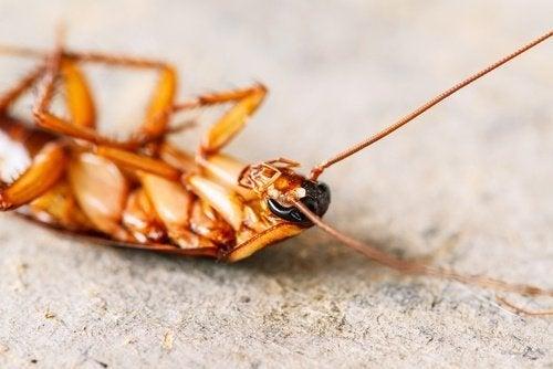 Allontanare gli scarafaggi: scarafaggio morto.