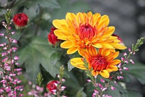 Due crisantemi gialli