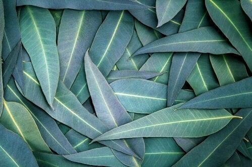 Rimedi con eucalipto per trattare i problemi respiratori
