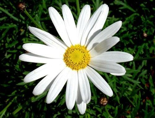 Fiore di margherita
