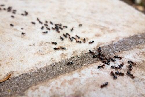 Assalto di formiche