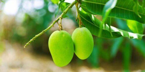 Frutti e foglie di mango tisane per abbassare la glicemia