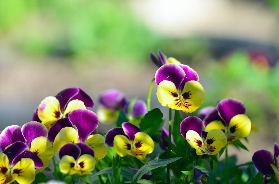 I fiori del pensiero