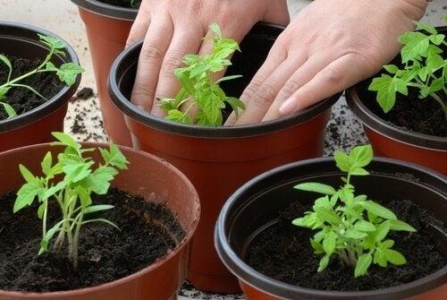 Coltivare i pomodori in casa