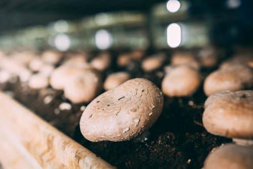 Coltivare i funghi champignon in casa