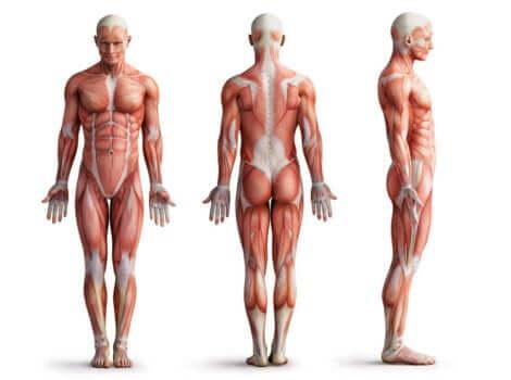 Funzionamento muscolare: apparato muscolare umano.