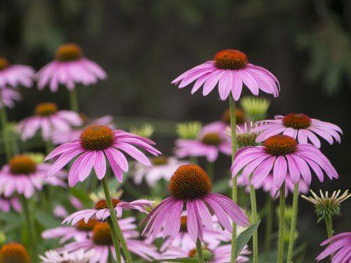 Ci sono fiori per rinforzare il sistema immunitario