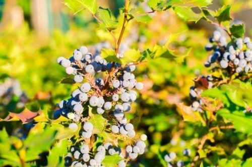 Uva dell'Oregon