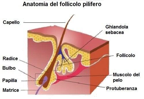 Anatomia del follicolo pilifero