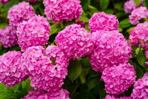 Le ortensie rosa