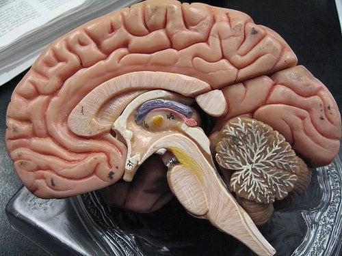 Modello di sezione del cervello