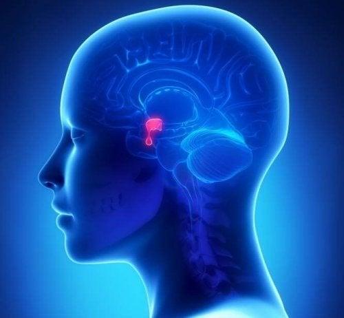 Posizione dell'ipofisi all'interno della testa