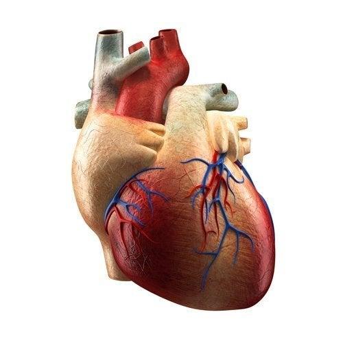 Le parti del cuore e le loro funzioni