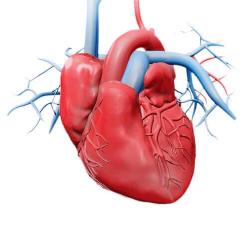 Le diverse funzioni del cuore