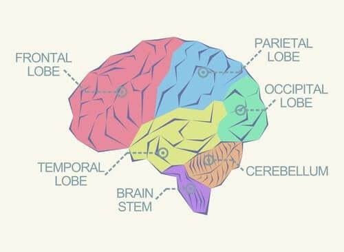 Lobi cerebrali: quali sono e che funzioni svolgono?