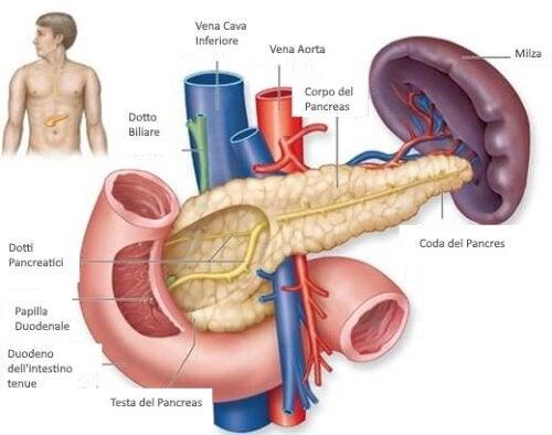 Sintomi dell'ipoglicemia e anatomia del pancreas