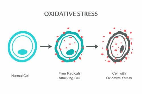 Fasi dello stress ossidativo nelle cellule