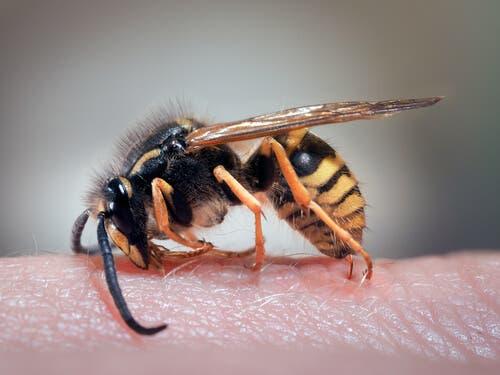 Punture di vespa e rimedi naturali per il dolore