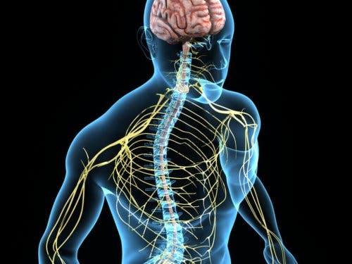 Sistema nervoso dell'essere umano