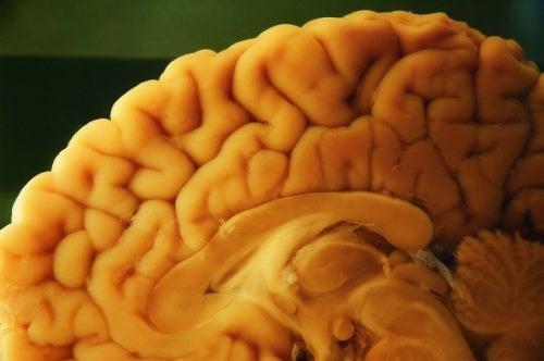 Struttura del cervello