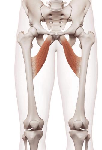 Muscoli adduttori delle gambe.