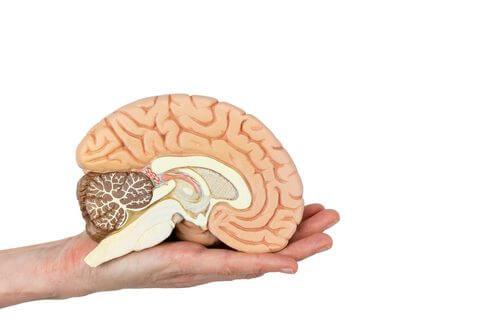 Autopsia neuropatologica: sezione trasversale del cervello