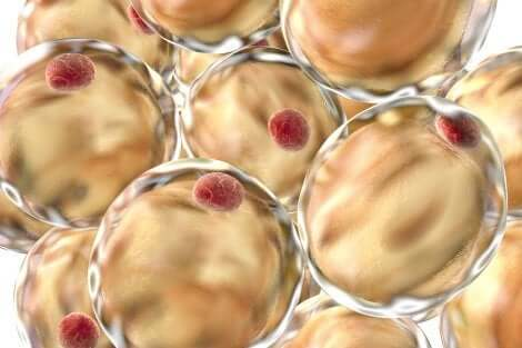 Cellule adipose del corpo umano.