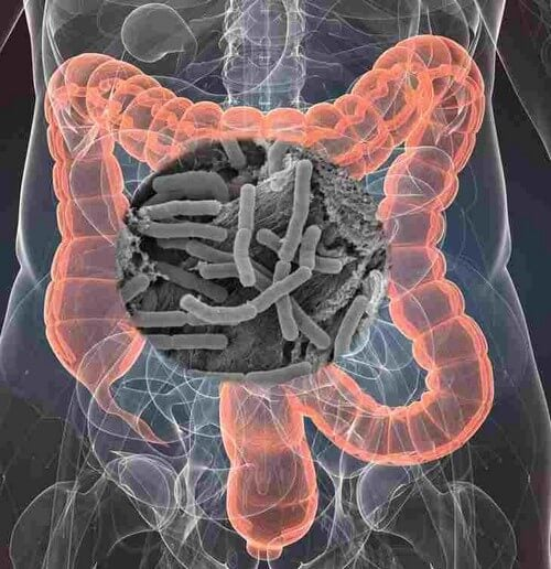 La flora intestinale protegge la salute.