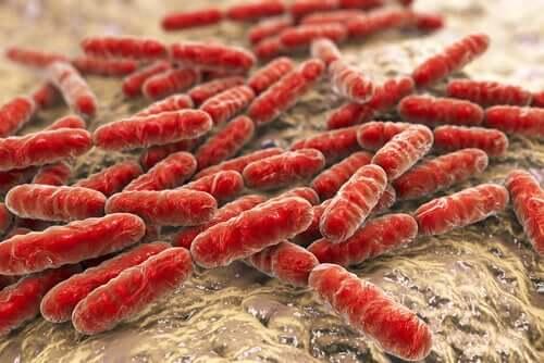 Lattobacilli intestinali che formano il microbiota.