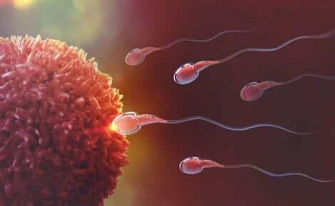 Spermatozoi che raggiungono l'ovulo.