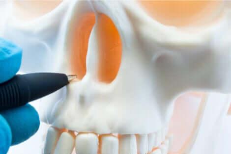 Cranio e setto nasale.