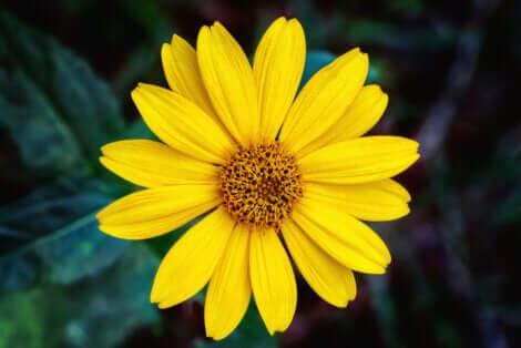 Fiore di arnica giallo.